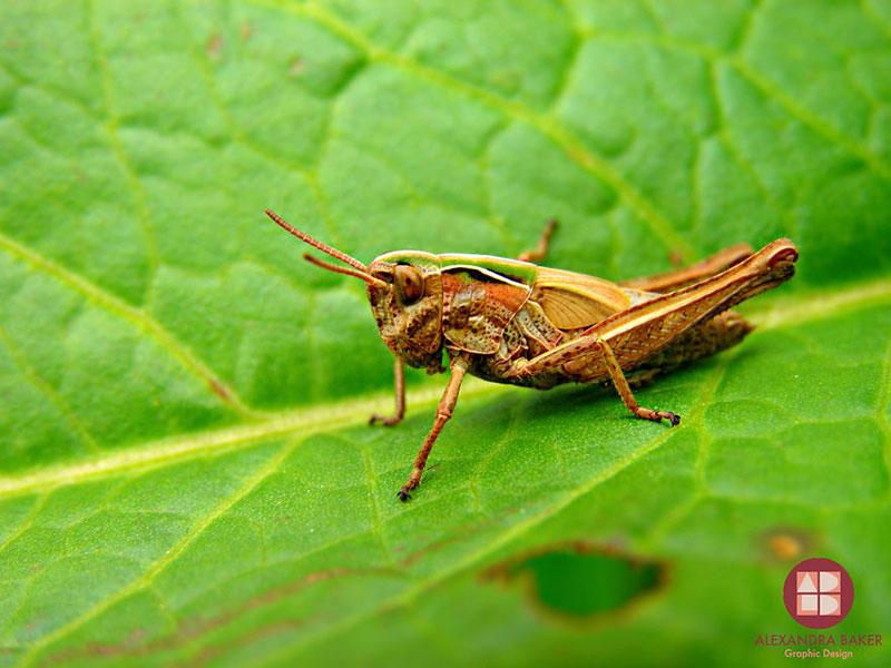 As melhores fotografias de insetos de Alexandra Baker - Gafanhoto