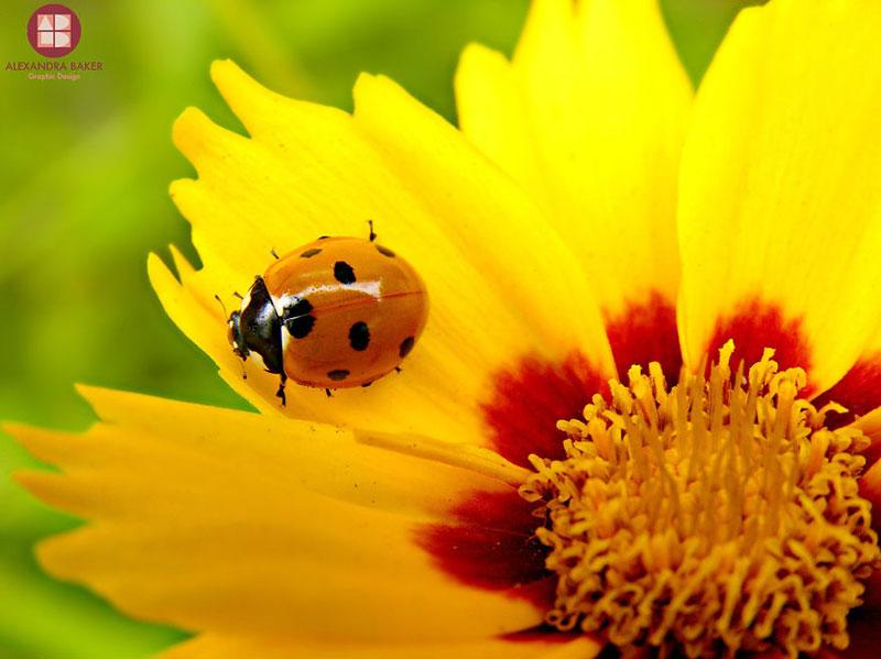 As melhores fotografias de insetos de Alexandra Baker - Joaninha