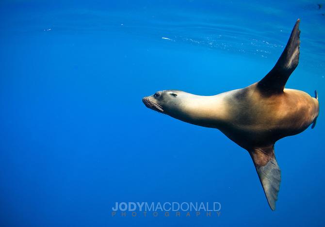 Galapagos Leão Marinho